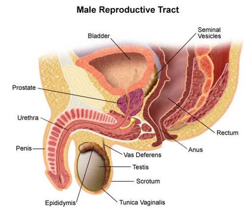 What is Prostate Gland? - UroBriz